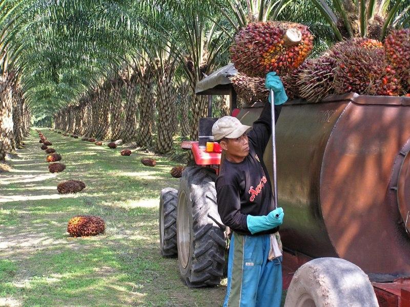 Пальмовое масло из чего производят?