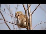 The Eurasian pygmy owl (Glaucidium passerinum)