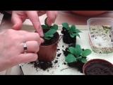 Выращивание петунии из семян. Часть 4. Пикировка.