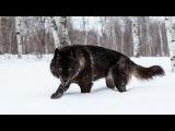 Восхождение чёрного волка (Документальные фильмы National Geographic HD)