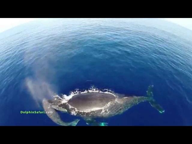 Шикарный вид сверху на китов в дикой природе с дрон камеры.