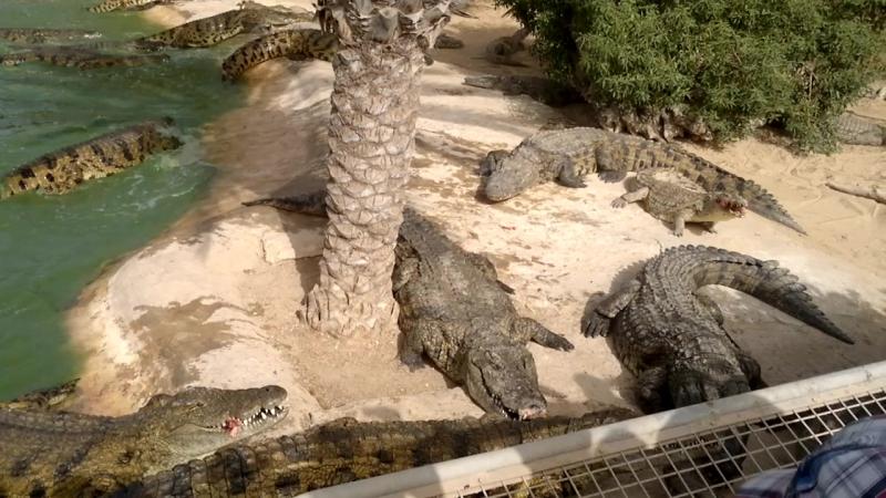 2016-05-27 Тунис крокодиловая ферма остров Джерба