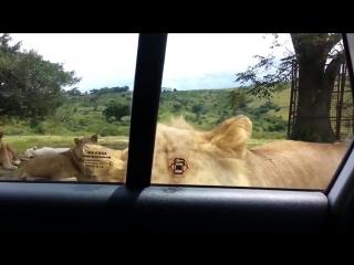 Лев напал на туристок