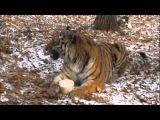 Подружившиеся в Приморье тигр и козел начали играть друг с другом: видео