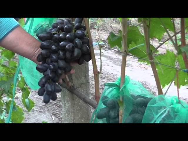 виноградник Карпова и Рубель 2015г.