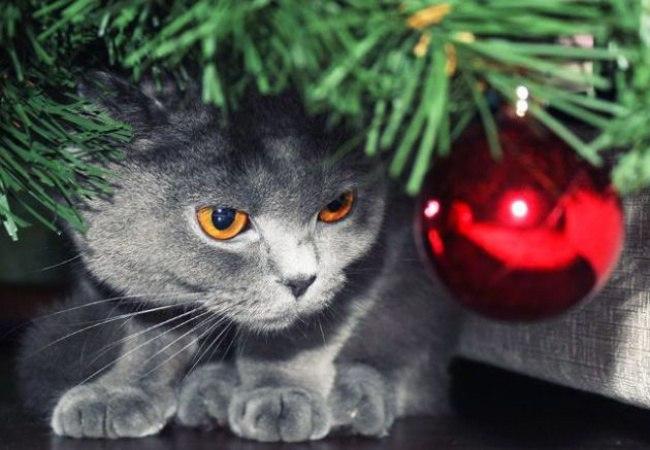 CLijw1N8f9E - Как нарядить кота на Новый Год? (ФОТО)
