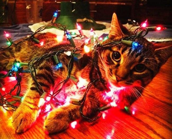 ncLLYrgk1G0 - Как нарядить кота на Новый Год? (ФОТО)