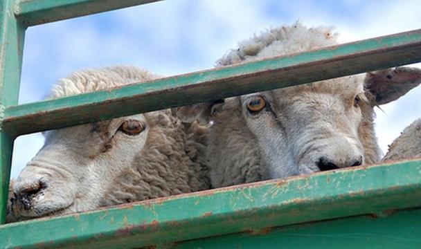 В Ростовской области задержаны 60 овец без документов