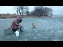 Лиса на рыбалке ест с руки