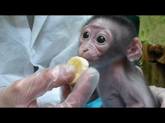 Premiers morceaux de banane pour Loango - Bébé Mangabey Couronné. 23ème jour