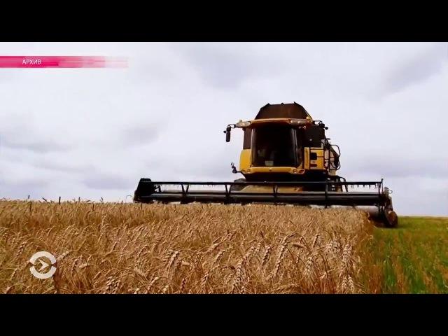 Россиян кормят пшеницей для скота. Почему в России плохой хлеб