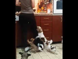 Пока Настя готовит панкейки,собаки сходят   с ума
