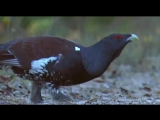 Capercaillie and the road. Глухарь и дорога.Tetrao urogallus. дикий мир.