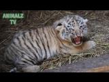 Симпатичные тигрята. Милые детёныши животных