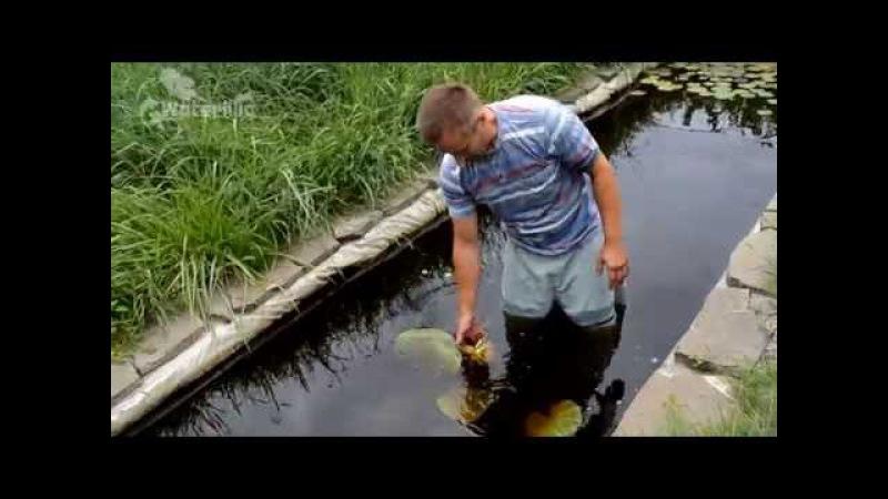 Посадка водяной лилии в пруд в питомнике Waterlilia