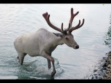 Охота на оленя карибу. Охота в Новом Свете 77.