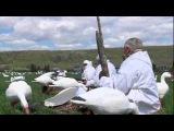 Охота на белого гуся. Охота в Новом Свете. Выпуск 89.