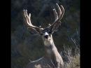 Охота на чернохвостого оленя Охота в Новом Свете 85