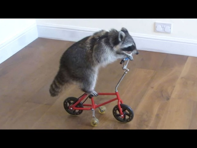 Funny Raccoons ★ Keep Calm And Be A Raccoon Funny Pets