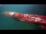Four metre giant squid filmed cruising along in Japanese har