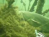 Подводная охота на сомов