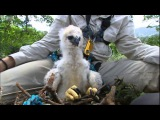 Inside a Harpy Eagle Nest Ultimate Killers BBC