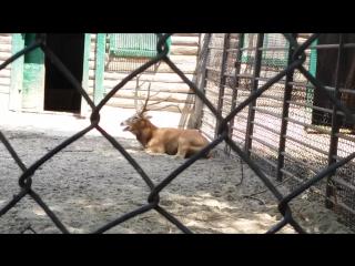 Олень переживает за рожающую олениху(г.Николаев)