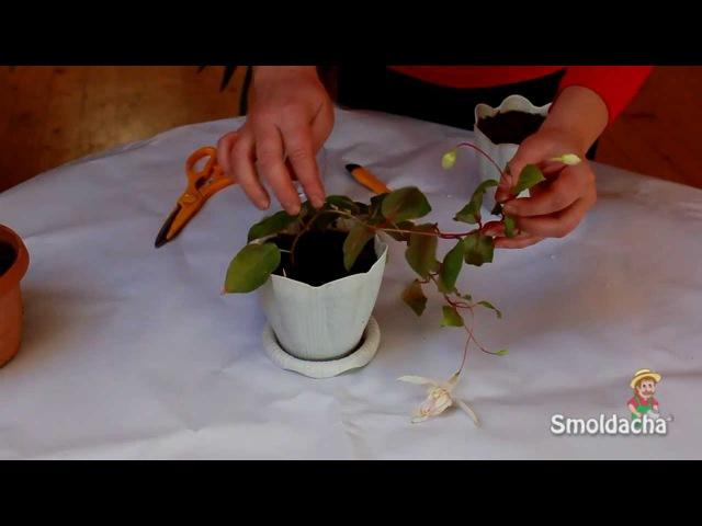 Размножение фуксии - черенкование