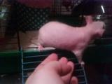 Биби - первый кирпичик в крысоклуб Риги =)