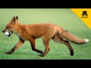 A Fox Steals A Mans Golf Ball And Has The Time Of His Life!