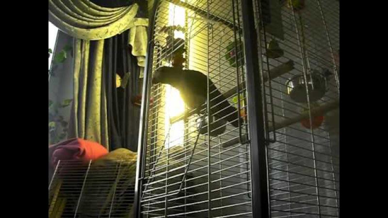 Попугай Жако ругается матом
