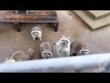 Лучшее видео про енотов. Лучшая подборка енотов. Очень много енотов. (Животные №28)