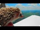 Прикольные Веселые Ежики! Funny Hedgehogs / Позитивное Видео