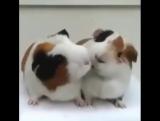 Две морские свинки обедают