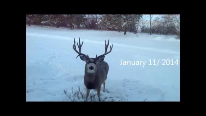 Как олень сбрасывает рога Like a deer shed their antlers