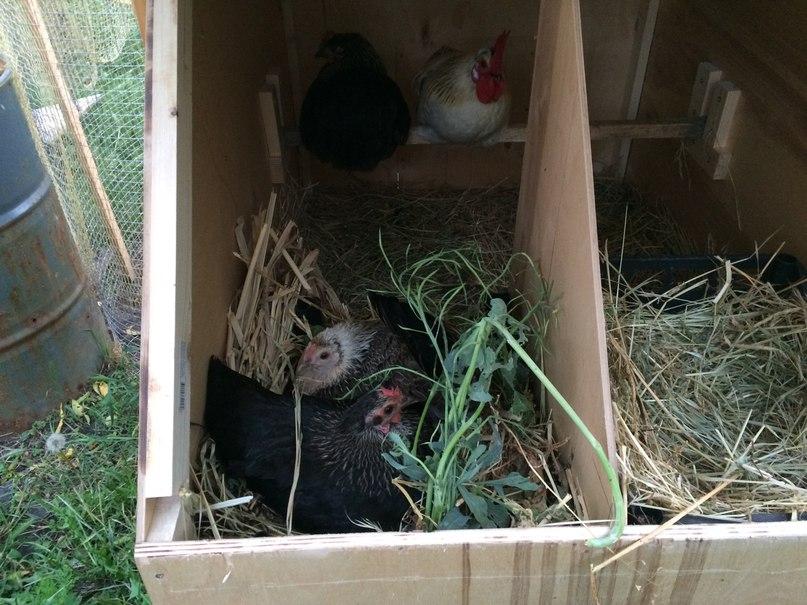 Куры в гнезде