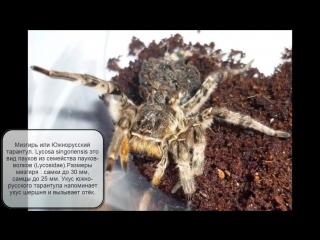 Самый большой паук в России Южнорусский тарантул