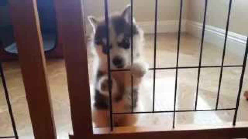 Щенок Хаски устал сидеть в клетке!