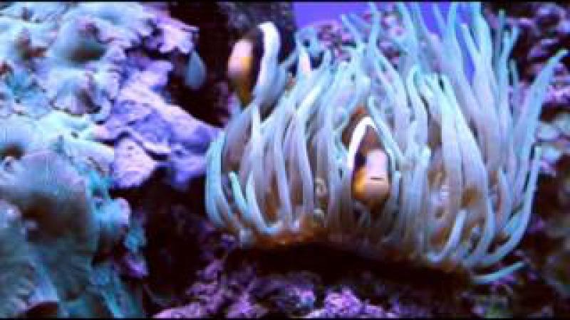 Рыбка клоун поёт