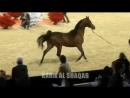 Чемпионат мира арабской лошади