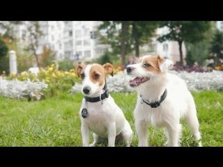 Джек Рассел Терьер – все о породе собаки – Purina Pro Plan Ukraine