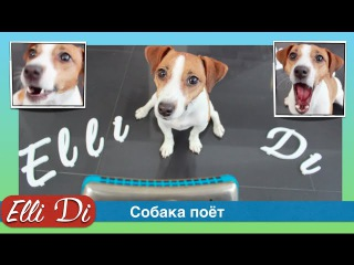 Реакция собаки на гармошку. Собака джек рассел терьер поёт. Собака Elli Di.