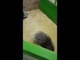 дикобразы in da zoo