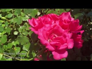 Почвопокровная роза - выращивание, уход , полив, размножение