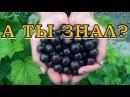 Как правильно посадить черную смородину?
