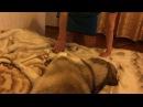 Маламут ругается и не хочет слезать с кровати