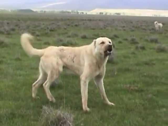 Kangal saldırısı Real dog attack