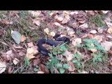 Черная обыкновенная гадюка в осеннем лесу недалеко от Вырицы, Ленобласть