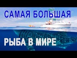 САМАЯ БОЛЬШАЯ РЫБА В МИРЕ -   КИТОВАЯ АКУЛА - ТОП 10 РЫБАЛКА