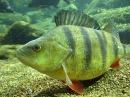 Ловля окуня. Интересные подводные съемки. perch fishing. Underwater photography